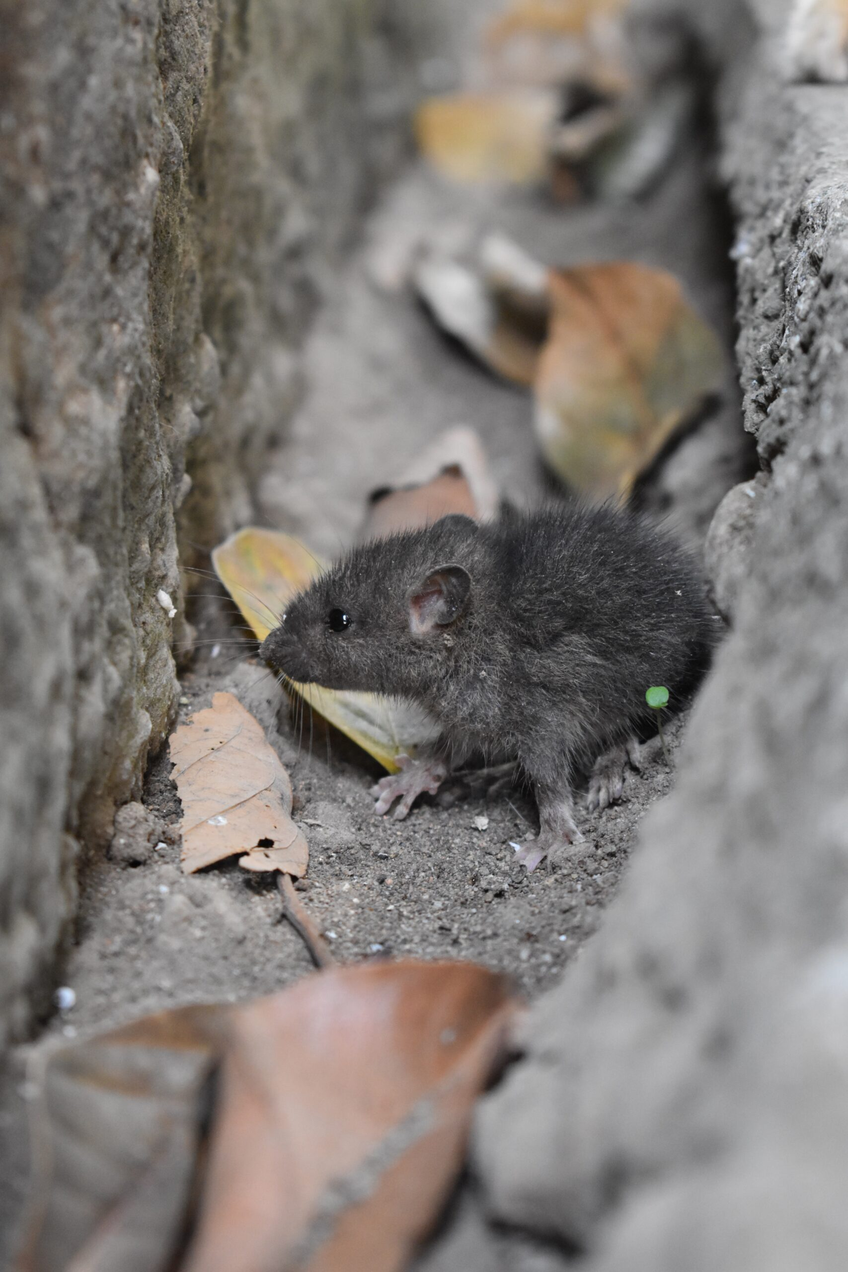 Derattizzazione e disinfestazione topi