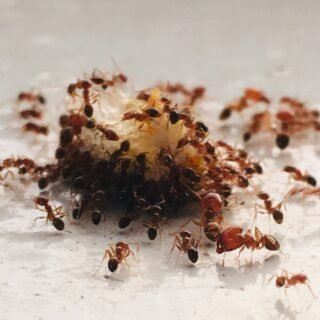 Disinfestazione di formiche a Roma