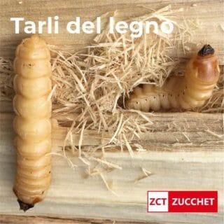 disinfestazione tarli del legno xilofagi